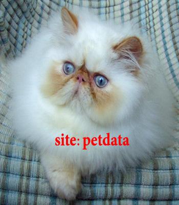 فروش گربه هیمالین | خرید گربه هیمالین | فروش بچه گربه هیمالین
