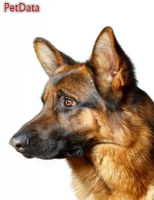 ژرمن شپرد ,  سگ ژرمن