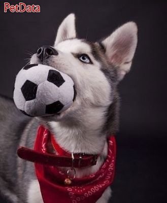 به مرکز فروش سگ هاسکي ايران خوش آمديد مديريت مجموعه کبودهن  09128992218