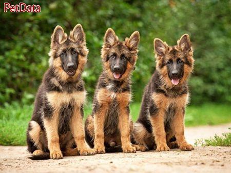 آگهي خريد وفروش سگ نگهبان