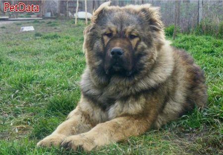فروش سگهاي قفقازي در کلاسهاي مختلف