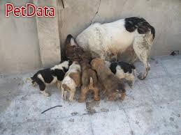 فروش سگ سرابي
