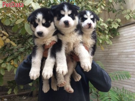 فروش ويژه توله سيبرين هاسكي  - فروش سگ هاسكي