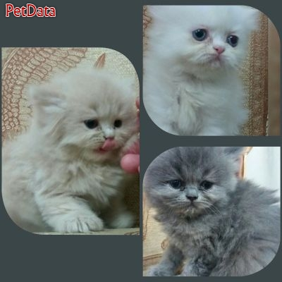 پرورش و فروش بچه گربه هاي پرشين خانگي