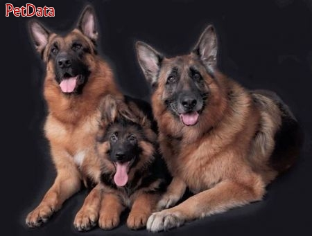 مربي تربيت سگهاي خانگي و سگهاي گارد