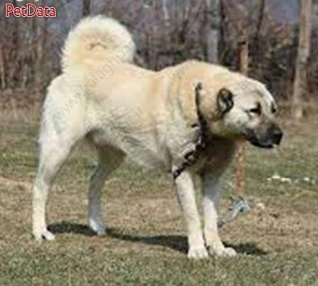 فروش توله سگ هاي کانگال از پدر و مادر بسيار بگير قيمت تنها يک و ششصد