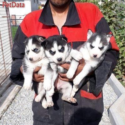 فروش سگ هاسکي از توله تا بالغ،فروش سگ سيبرين هاسکي