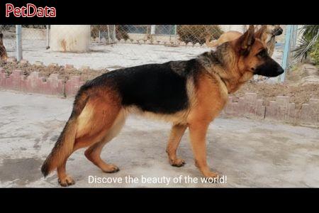 سگ نگهبان  ژرمن شيپرد
