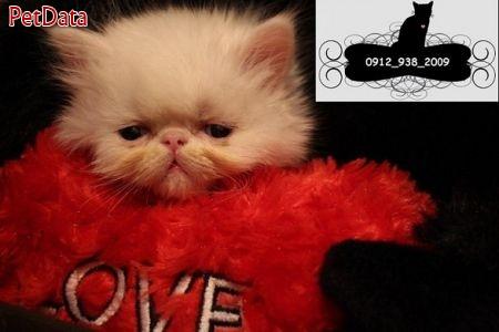 بچه گربه هاي پرشين 09129382009