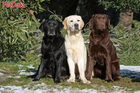 فروش سگ لابرادور رتريور