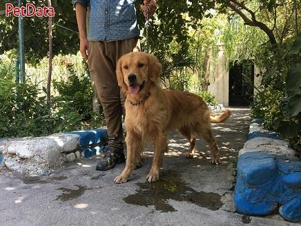 فروش سگ گلدن رتريور
