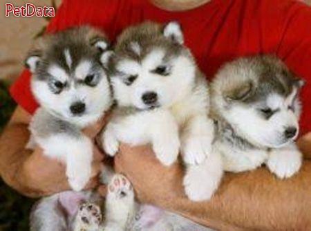 مرکز خريد و فروش سگ هاسکي  توله وبالغ