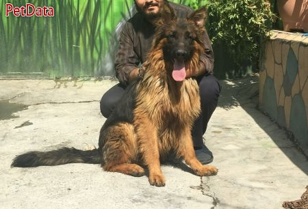 خريد و فروش انواع سگ گارد و نگهبان و گله