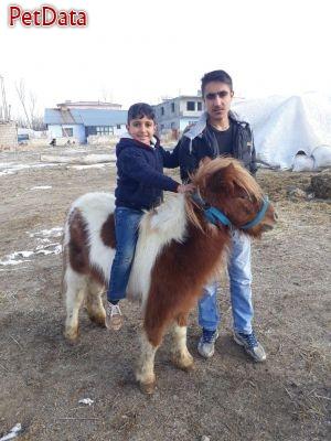 فروش اسب مينياتوري