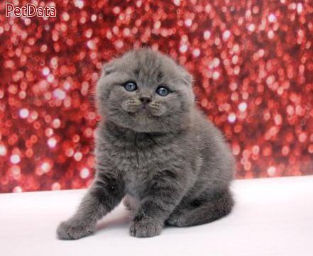 بچه گربه اسکاتيش وارداتي اصل