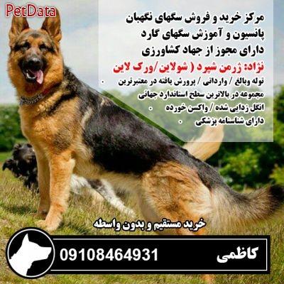 فروش انواع سگ نگهبان و سگ پليس 09108464931