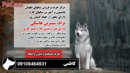 فروش سگ هاسکي اصيل بي واسطه09108464931