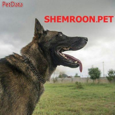 فروش سگ ژرمن شمرون پت 09125791947