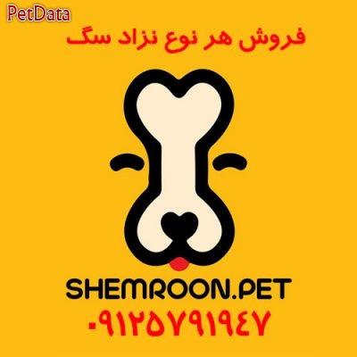 خريد و فروش ويژه سگ شمرون پت  09125791947