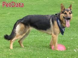 فروش سگ ژرمن ورک لاين