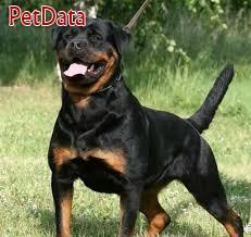 فروش سگ روتوايلر نر حرفه اي