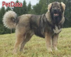 فروش سگ قفقازي نر