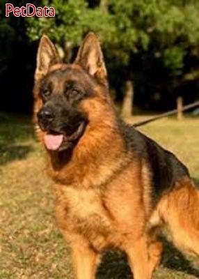فروش سگ جرمن شپرد حرفه اي
