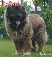 فروش سگ قفقازي ماده نگهبان