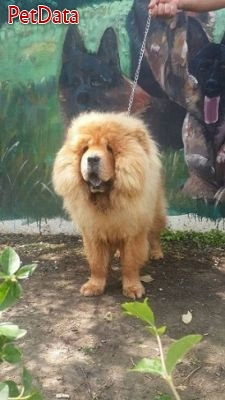فروش سگ چاو چاو نر