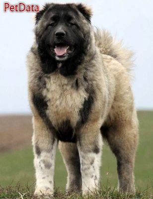 سگ هاي عالي قفقازي