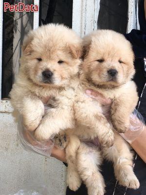 سگ هاي نگهبان سلطنتي چاوچاو(چوچو يا chao chao)