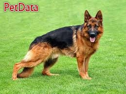 فروش تخصصي سگ ژرمن شپرد اصيل با قيمت مناسب در مجموعه اي کم نظير