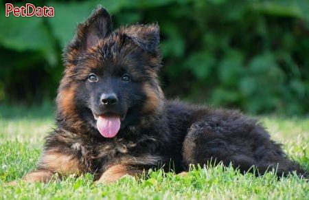 بزرگترين مجموعه سگهاي ژرمن شپرد در کشور