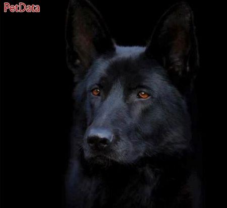 تربيت  انواع نژاد سگ