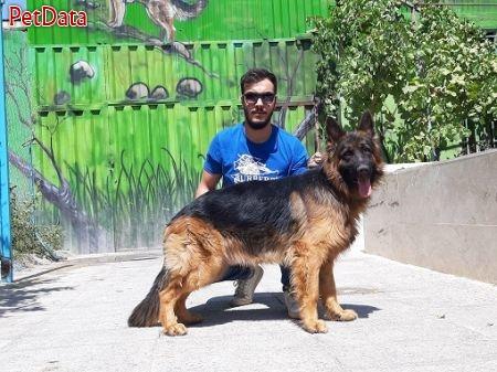 سگ هاي ژرمن شپهرد(گارد،نگهبان،گله و جستجوگر)
