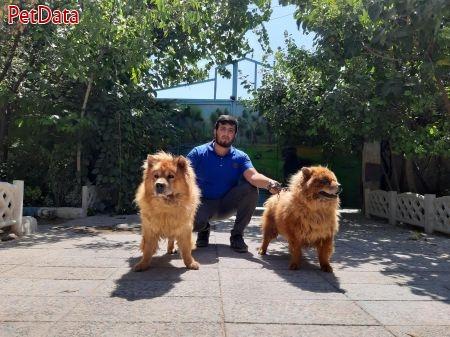 بزرگترين مجموعه پرورش وفروش سگ چاوچاو