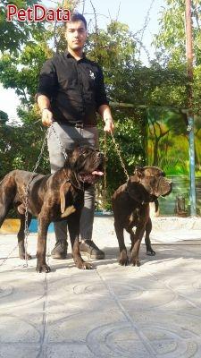 سگ ماستيف ايتاليايي کن کرسو(کين کرسو)
