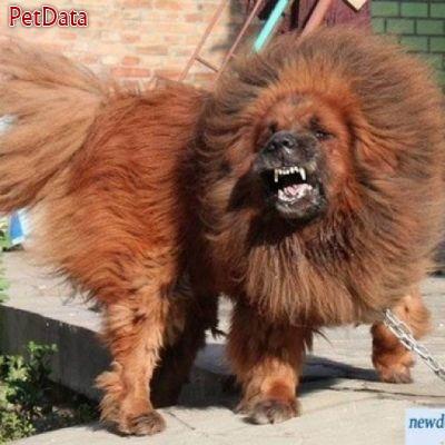 فروش تبت ماستيف  وارداتي  سگ لاکچري براي افراد لاکچري
