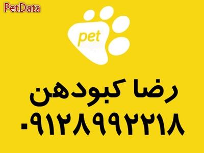 فروش سگ شي هواهوا ارزان قيمت به مشتري رضا کبودهن 09128992218