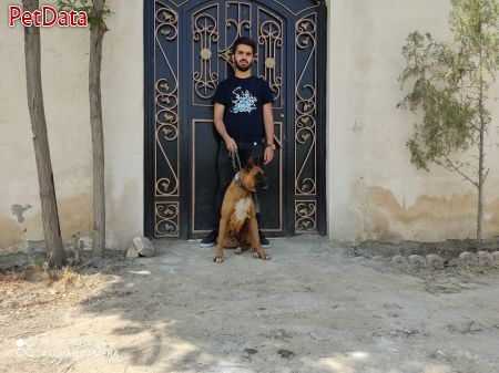 فروش سگ هاي باکسر