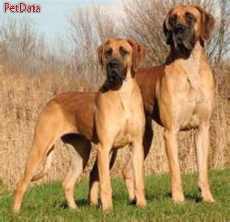 فروش سگ هاي گريت دين در رنگهاي مختلف