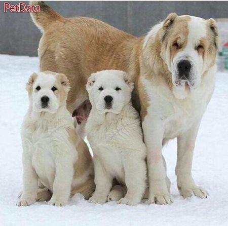 فروش سگ هاي آلاباي روس