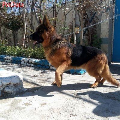 مرکز فروش انواع سگهاي نگهبان
