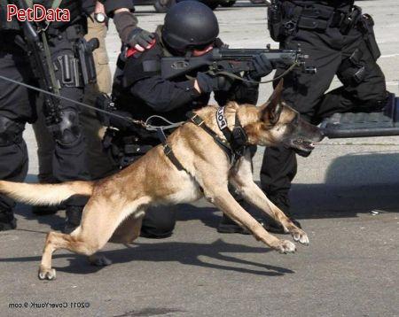 سگ نگهبان و آموزش ديده مالينويز