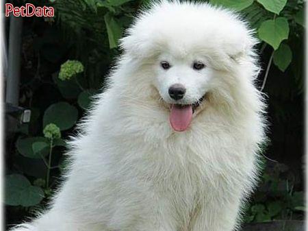 سگ ساموئيدزيبا