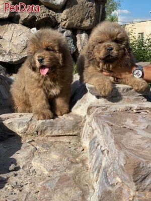 فروش سگ ماستيف تبتي