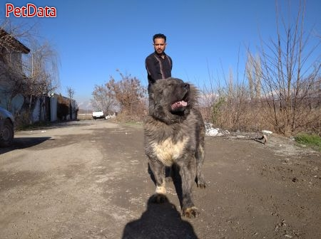 فروش سگ قفقازي توله و مولد