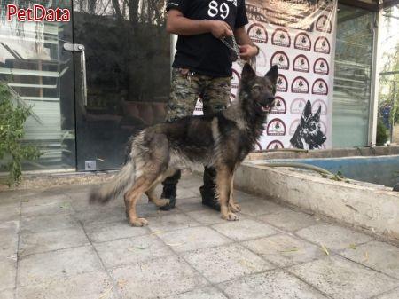 فروش سگ ژرمن ورک سيبل