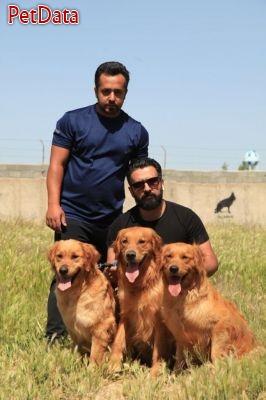 فروش سگ گلدن رتريور تربيت شده باشگاه پرورش سگ فيروز بخت 09123365195