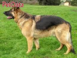 سگ ژرمن ورک لاين